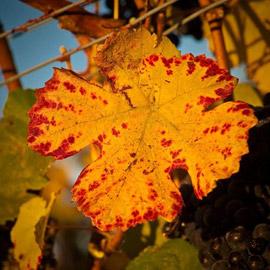 Grape vine in autumn