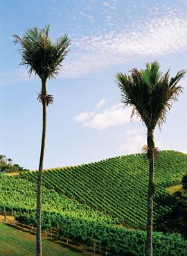 New Zealand vineyard with Nikau palms